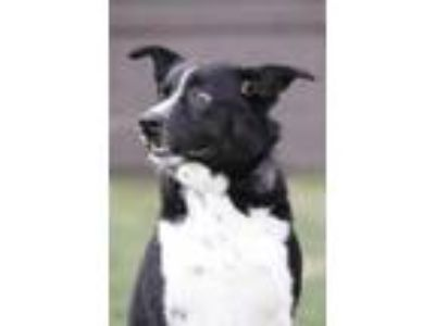 Adopt Copper a Black Australian Shepherd / Border Collie dog in Douglasville