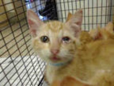 Adopt MARK a Orange or Red Tabby Domestic Shorthair / Mixed (short coat) cat in