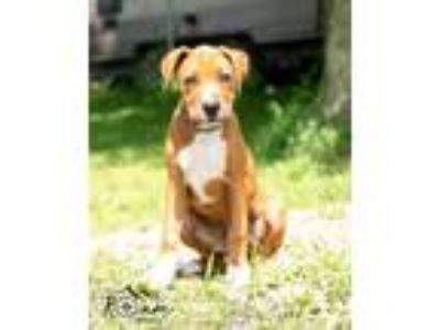 Adopt Puppies! a Boxer, Catahoula Leopard Dog