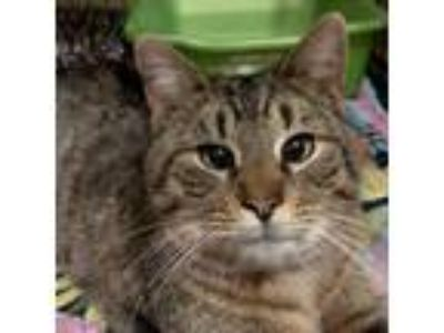Adopt Phoebo a Brown or Chocolate Domestic Shorthair cat in Walker