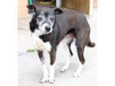 Adopt *Aunt Granny Fraggle a Black - with White Rat Terrier / Mixed dog in