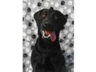 Adopt Sherry 26744 a Black Labrador Retriever / Mixed dog in Aiken