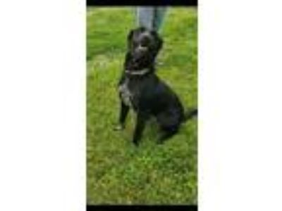 Adopt Mercy a Labrador Retriever, Australian Cattle Dog / Blue Heeler