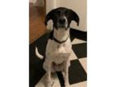 Adopt Olaf a White - with Black Pointer / Labrador Retriever / Mixed dog in