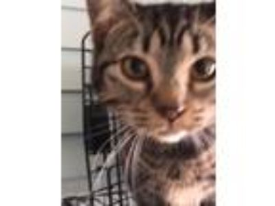 Adopt Tabby a Tiger Striped Domestic Shorthair (short coat) cat in Louisville