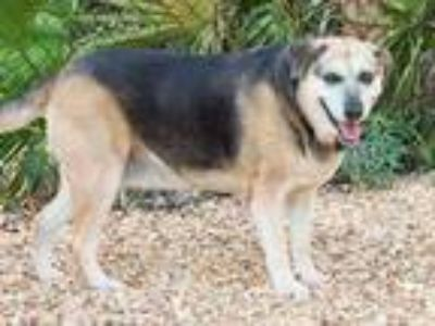 Adopt EMMA a Black - with Tan, Yellow or Fawn German Shepherd Dog / Mixed dog in