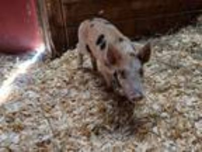 Adopt a Pig (Farm) / Mixed farm-type animal in Charlotte, NC (25558472)