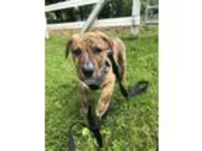 Adopt Svedka a American Pit Bull Terrier / Mixed dog in Poughkeepsie