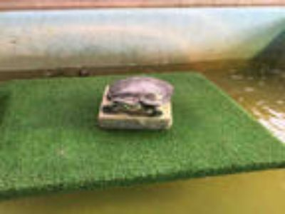 Adopt TACO a Turtle - Water / Mixed reptile, amphibian, and/or fish in