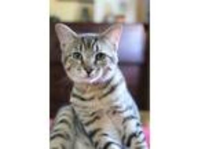Adopt Dexter a Brown Tabby Domestic Shorthair (short coat) cat in Carlisle
