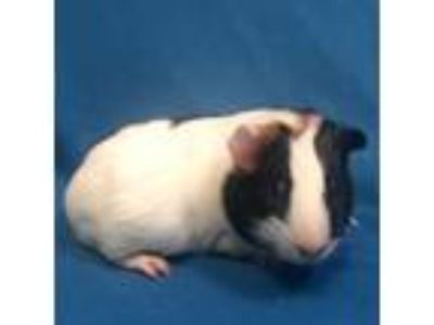 Adopt Napoleon a Guinea Pig small animal in Show Low, AZ (24555828)