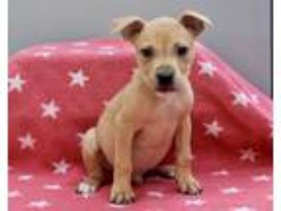 Adopt Nas a Red/Golden/Orange/Chestnut - with Black Pit Bull Terrier / Mixed dog