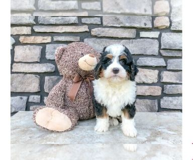 Miniature Bernedoodle PUPPY FOR SALE ADN-131024 - Cody The Mini Bernedoodle