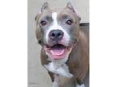 Adopt Genevieve a Brown/Chocolate American Pit Bull Terrier / Mixed dog in South