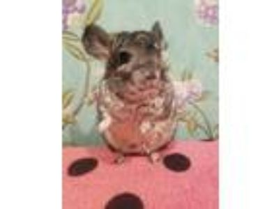 Adopt Dumpling a Silver or Gray Chinchilla small animal in Lindenhurst