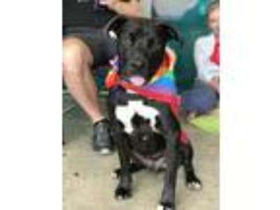 Adopt Jojo a Black - with White Labrador Retriever / Mixed dog in Los Angeles