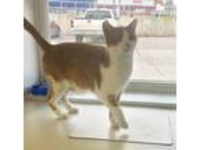 Adopt Mario a Orange or Red Tabby Domestic Shorthair (short coat) cat in