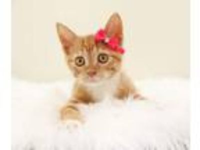 Adopt Carrot a Domestic Short Hair