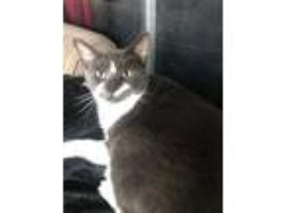 Adopt Tonto a Gray or Blue Manx cat in Maitland, FL (24632518)