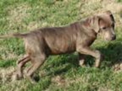 Adopt RUCKUS a Pit Bull Terrier, Mixed Breed