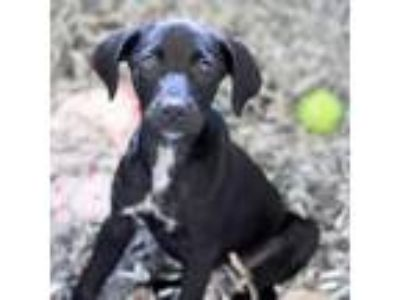 Adopt Infiniti a Black Labrador Retriever / Mixed dog in Atlanta, GA (25544719)