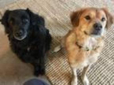 Adopt Tierney and Hudson a Black Border Collie / Labrador Retriever / Mixed dog