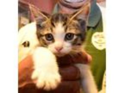 Adopt Tabby kittens a Domestic Short Hair, Tabby