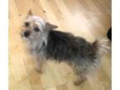 Adopt Thunder a Yorkshire Terrier, Silky Terrier