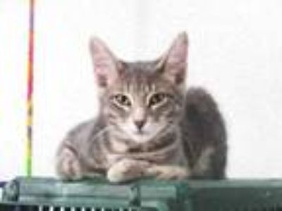 Adopt Greg a Gray or Blue Domestic Shorthair / Domestic Shorthair / Mixed