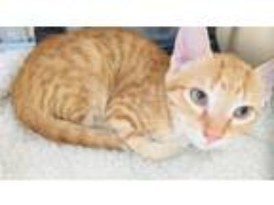 Adopt Hunter a Domestic Shorthair / Mixed cat in Corpus Christi, TX (25519417)