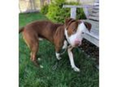 Adopt MATLOCK a Pit Bull Terrier / Mixed dog in Wintersville, OH (25649013)