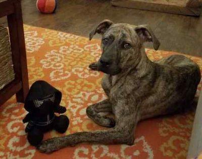 Plott Hound Mix DOG FOR ADOPTION ADN-107437 - Brindle Plott Hound Mix to Adopt in Central SC