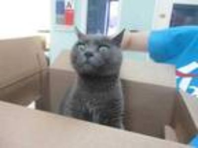 Adopt *CHUCK a Gray or Blue Domestic Shorthair / Mixed (short coat) cat in