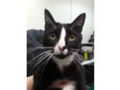 Adopt Dwight a Black & White or Tuxedo Domestic Shorthair (short coat) cat in