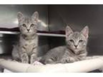 Adopt The Muppet kittens a Domestic Short Hair