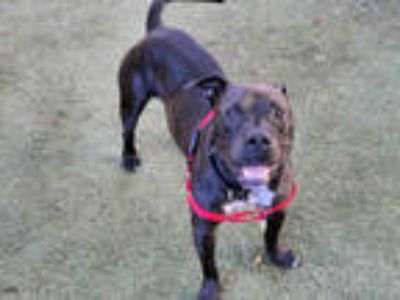 Adopt LUKE a Black - with White American Pit Bull Terrier / Mixed dog in San