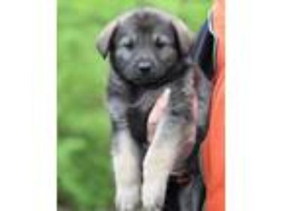 Adopt Marlin a Brown/Chocolate - with Black Shepherd (Unknown Type) / Mixed dog