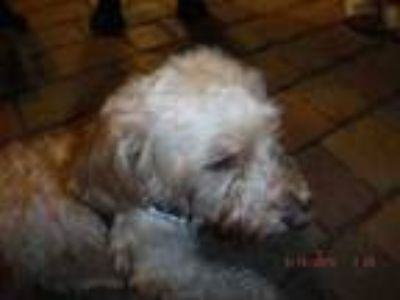 Adopt CHUCHI a Poodle, Mixed Breed