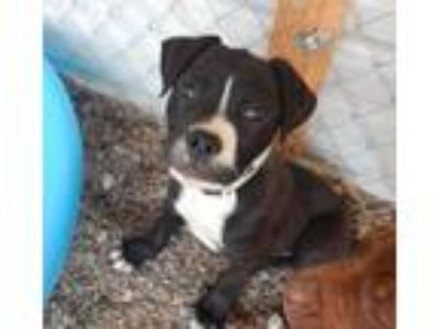 Adopt Boomer a Boxer, Pit Bull Terrier