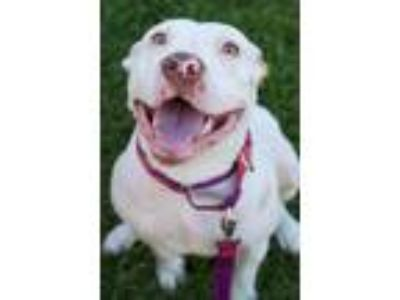 Adopt Gracie Mae a Pit Bull Terrier, American Staffordshire Terrier