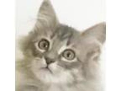 Adopt Bonnaroo a Gray, Blue or Silver Tabby Domestic Longhair (long coat) cat in