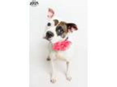 Adopt Fiona in a foster home a Boston Terrier, Boxer
