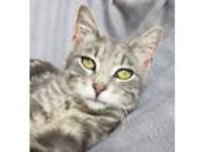Adopt Sushi a Domestic Short Hair, Tabby