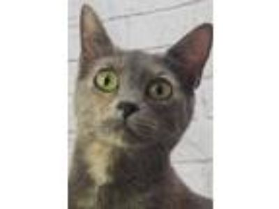 Adopt Mystique a Gray or Blue Domestic Shorthair / Domestic Shorthair / Mixed