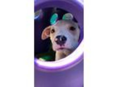 Adopt Buzz Black a White Pit Bull Terrier / Mixed dog in Boston, MA (25880051)