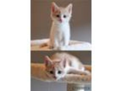 Adopt Duke a Cream or Ivory (Mostly) Domestic Shorthair (short coat) cat in