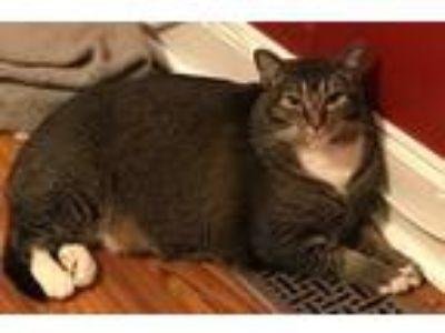 Adopt Jake a Domestic Shorthair / Mixed (short coat) cat in Alpharetta