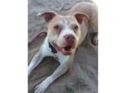 Adopt French Vanilla a Pit Bull Terrier / Mixed dog in Vineland, NJ (24887834)