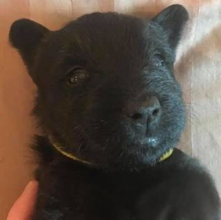 Scottish Terrier PUPPY FOR SALE ADN-98148 - Female Scotty with Yellow Collar