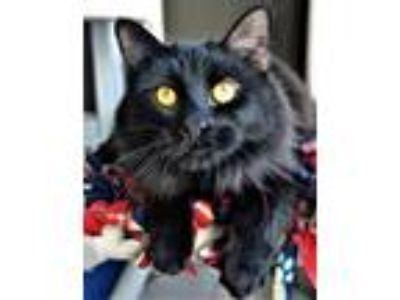Adopt Mona a Domestic Short Hair